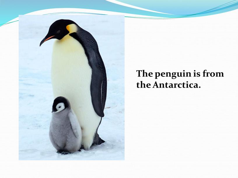 The penguin is from the Antarctica