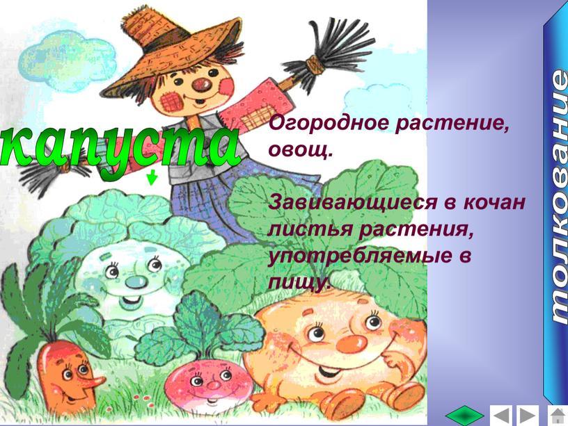Огородное растение, овощ. Завивающиеся в кочан листья растения, употребляемые в пищу