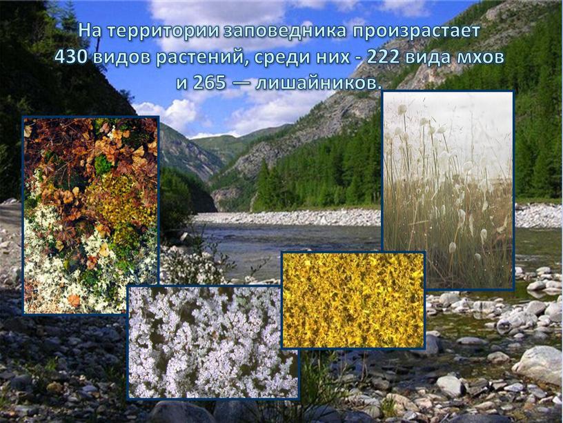 На территории заповедника произрастает 430 видов растений, среди них - 222 вида мхов и 265 — лишайников