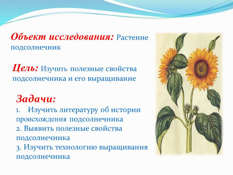 Объект исследования: Растение подсолнечник