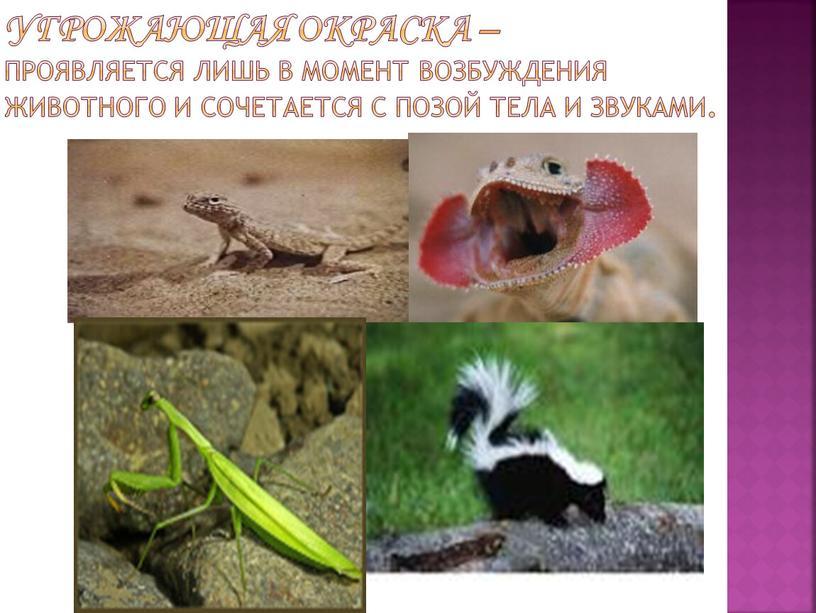 Угрожающая окраска – проявляется лишь в момент возбуждения животного и сочетается с позой тела и звуками