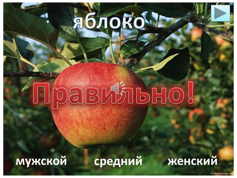 яблоко мужской средний женский Правильно!
