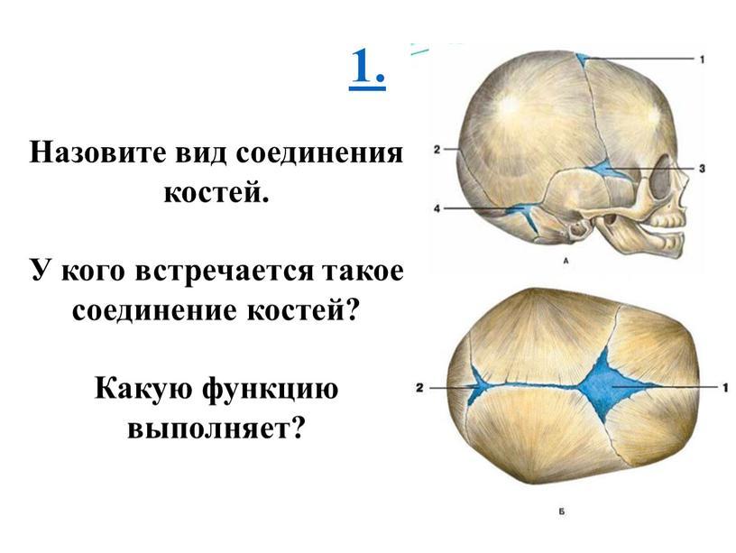 Назовите вид соединения костей