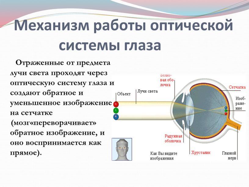 Отраженные от предмета лучи света проходят через оптическую систему глаза и создают обратное и уменьшенное изображение на сетчатке (мозг«переворачивает» обратное изображение, и оно воспринимается как…