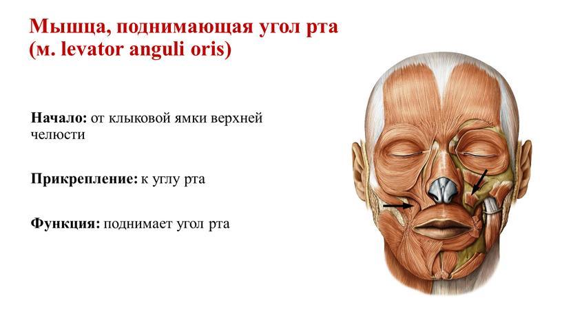 Мышца, поднимающая угол рта (м