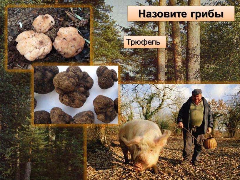 Назовите грибы Трюфель 12