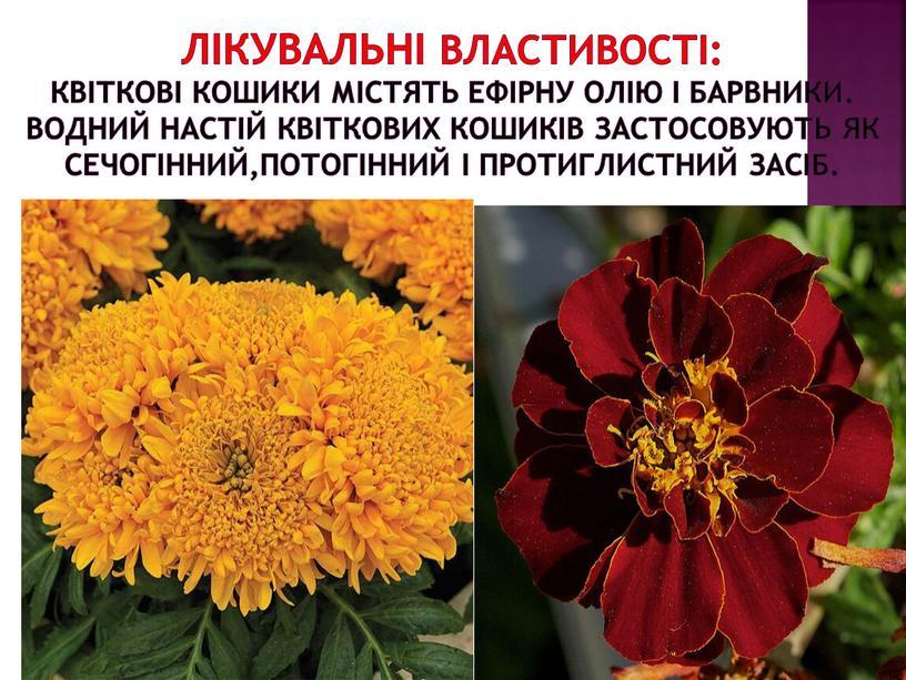 Лікувальні властивості: Квіткові кошики містять ефірну олію і барвники