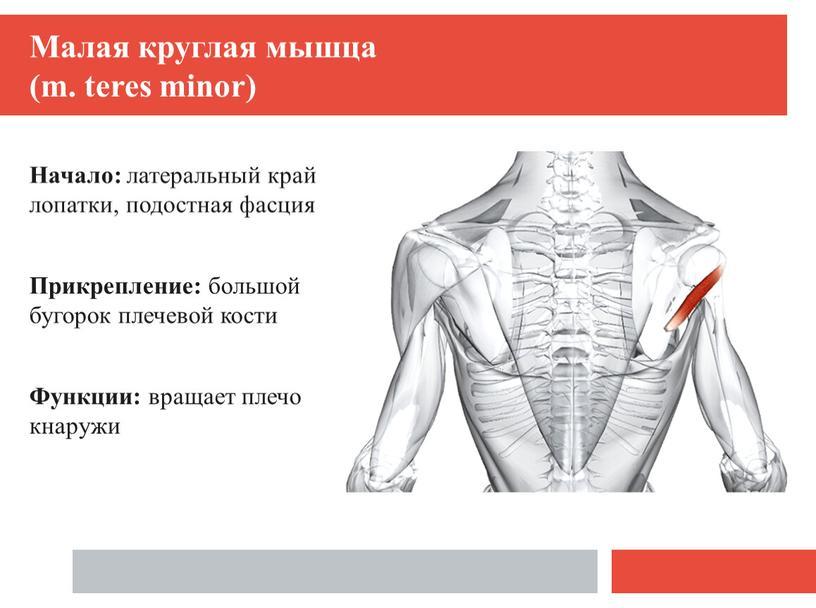 Малая круглая мышца (m. teres minor)