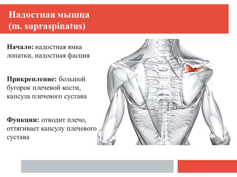 Надостная мышца (m. supraspinatus)
