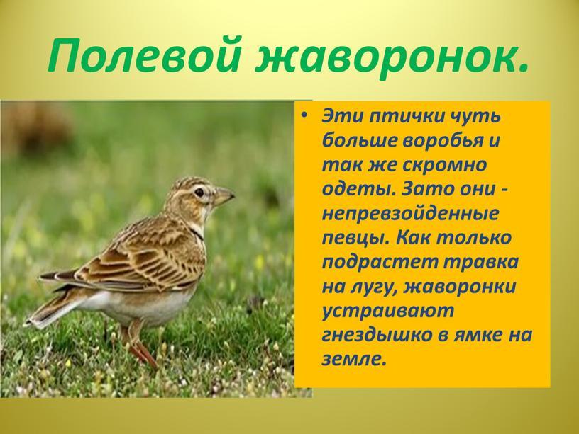Полевой жаворонок. Эти птички чуть больше воробья и так же скромно одеты