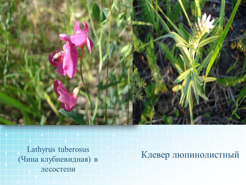Lathyrus tuberosus (Чина клубневидная) в лесостепи