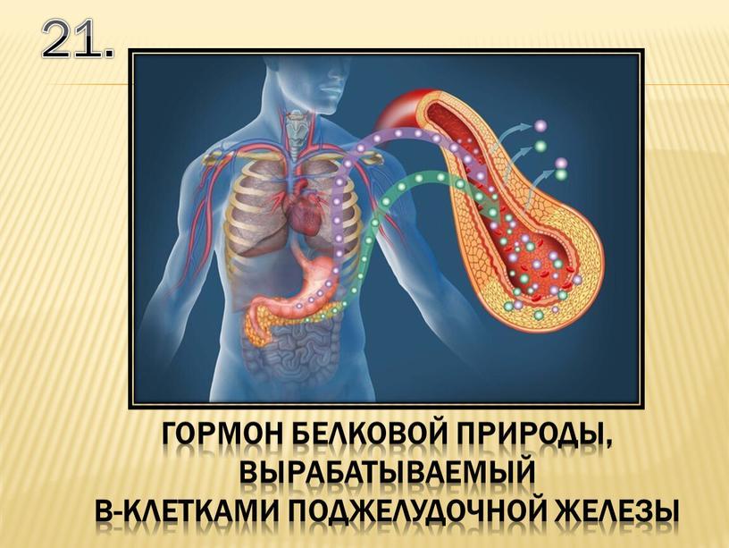 21. гормон белковой природы, вырабатываемый b-клетками поджелудочной железы