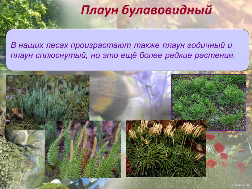 Плаун булавовидный В наших лесах произрастают также плаун годичный и плаун сплюснутый, но это ещё более редкие растения