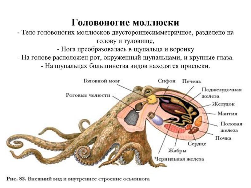 Головоногие моллюски - Тело головоногих моллюсков двустороннесимметричное, разделено на голову и туловище, -