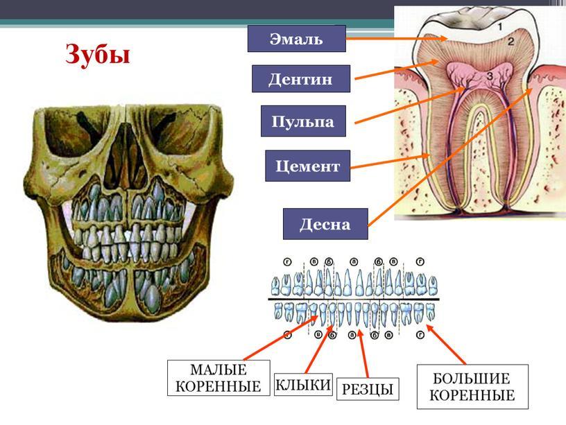 Зубы Эмаль Дентин Пульпа Цемент