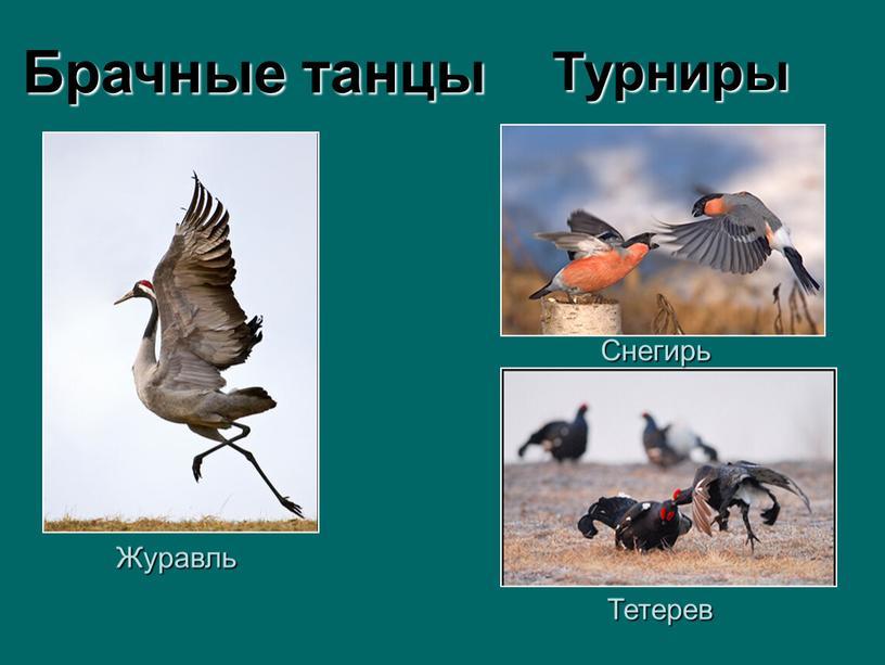 Журавль Тетерев Снегирь Брачные танцы