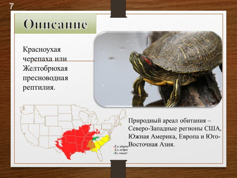 Красноухая черепаха или Желтобрюхая пресноводная рептилия
