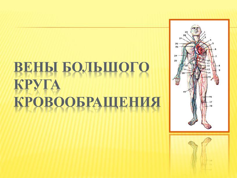 Вены большого круга кровообращения