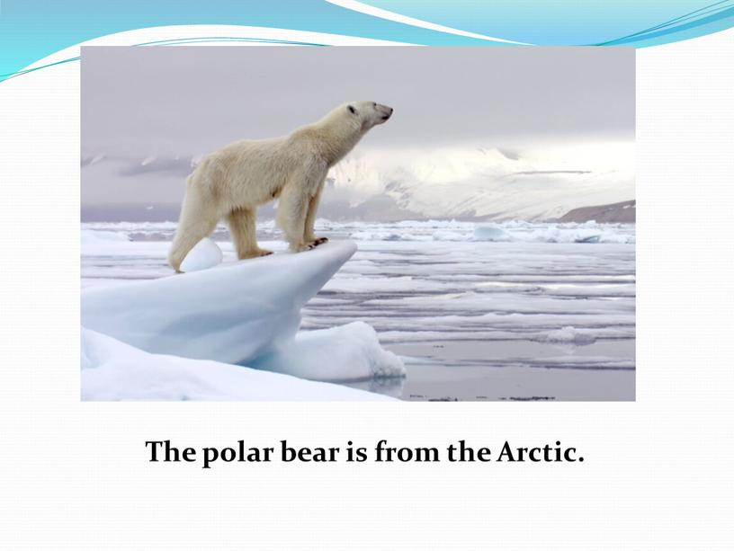 The polar bear is from the Arctic