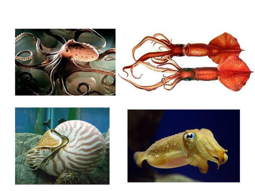 "Презентация к уроку биологии. 7 класс. Тема: ""Тип Моллюски"""
