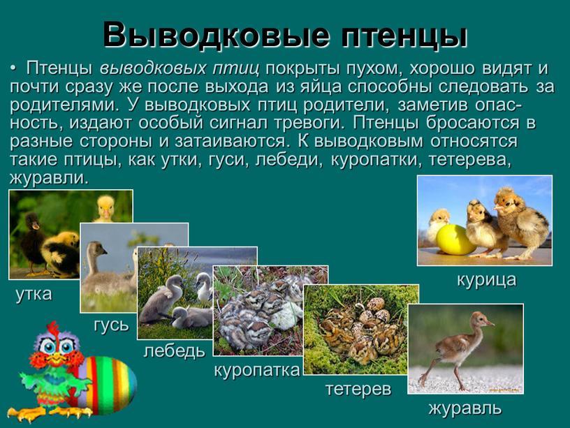 Выводковые птенцы Птенцы выводковых птиц покрыты пухом, хорошо видят и почти сразу же после выхода из яйца способны следовать за родителями