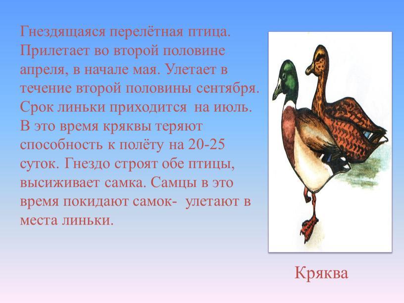 Кряква Гнездящаяся перелётная птица