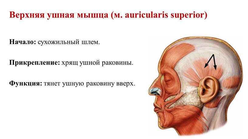 Верхняя ушная мышца (м. auricularis superior)