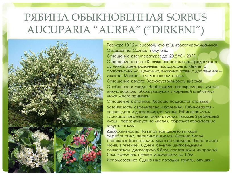 """Рябина обыкновенная Sorbus aucuparia """"Aurea"""" (""""Dirkeni"""")"""