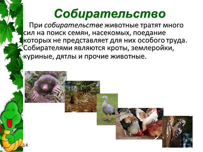 Собирательство При собирательстве животные тратят много сил на поиск семян, насекомых, поедание которых не представляет для них особого труда