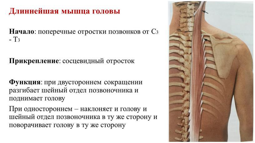Длиннейшая мышца головы Начало : поперечные отростки позвонков от
