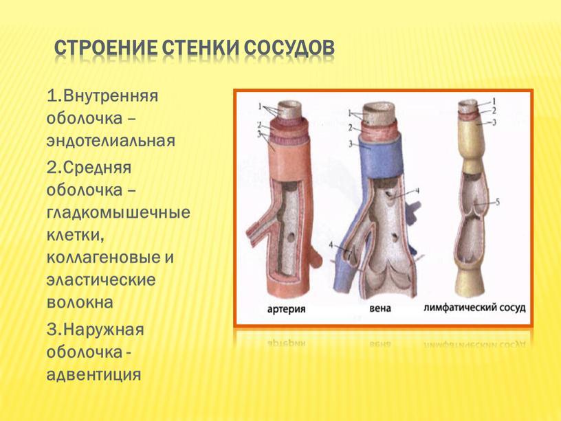 Строение стенки сосудов 1.Внутренняя оболочка – эндотелиальная 2