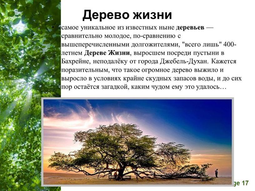 """Дерево жизни самое уникальное из известных ныне деревьев — сравнительно молодое, по-сравнению с вышеперечисленными долгожителями, """"всего лишь"""" 400-летнем"""
