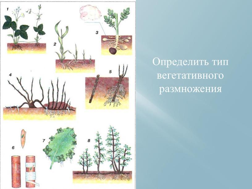 Определить тип вегетативного размножения