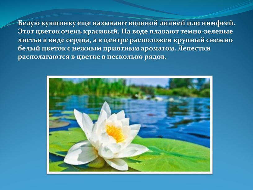 Белую кувшинку еще называют водяной лилией или нимфеей