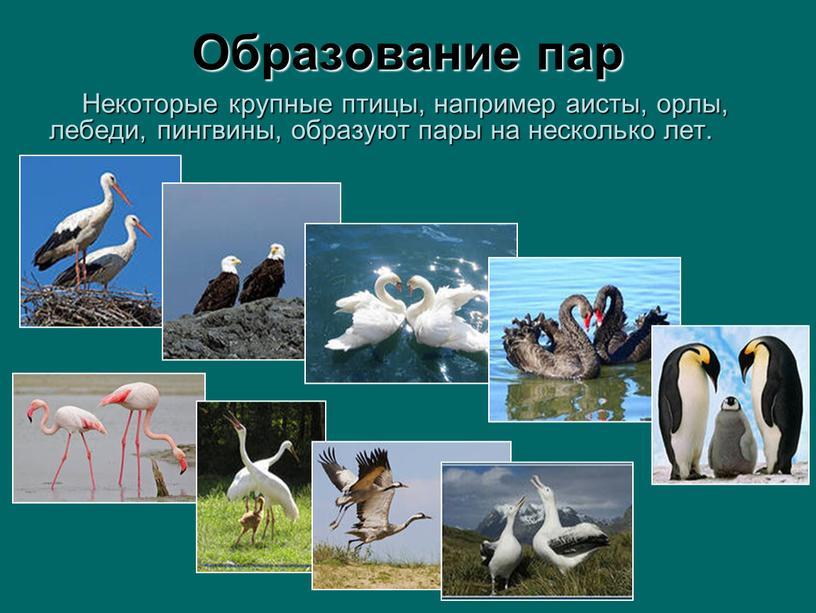 Некоторые крупные птицы, например аисты, орлы, лебеди, пингвины, образуют пары на несколько лет