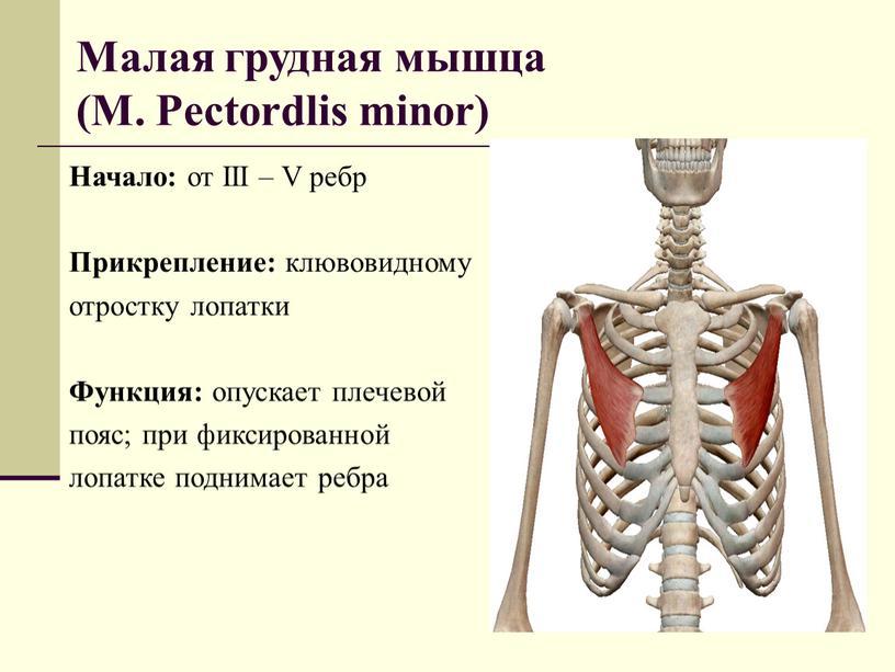 Малая грудная мышца (M. Pectordlis minor)