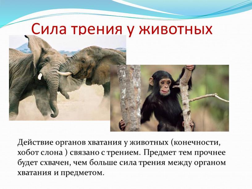 Сила трения у животных Действие органов хватания у животных (конечности, хобот слона ) связано с трением