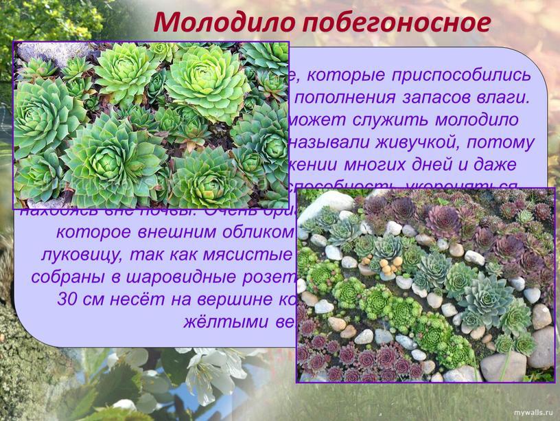 Молодило побегоносное Среди растений есть и такие, которые приспособились долгое время обходиться без пополнения запасов влаги