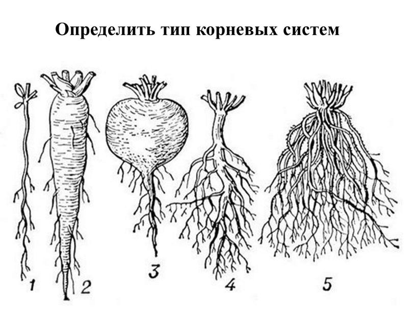 Определить тип корневых систем
