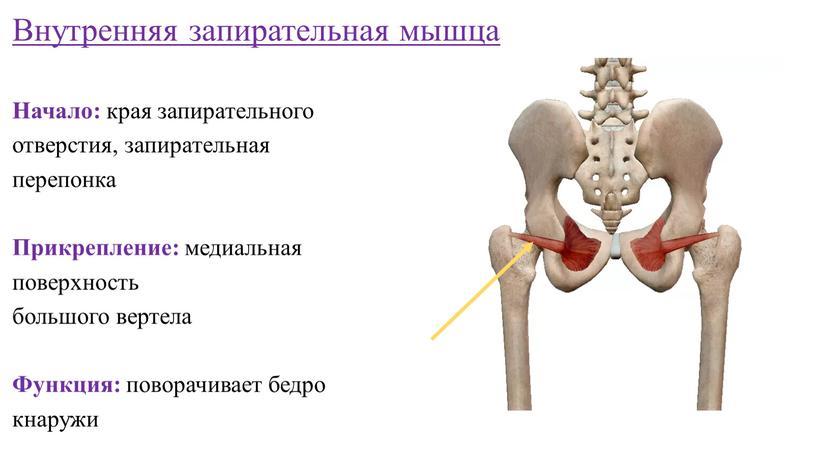 Внутренняя запирательная мышца
