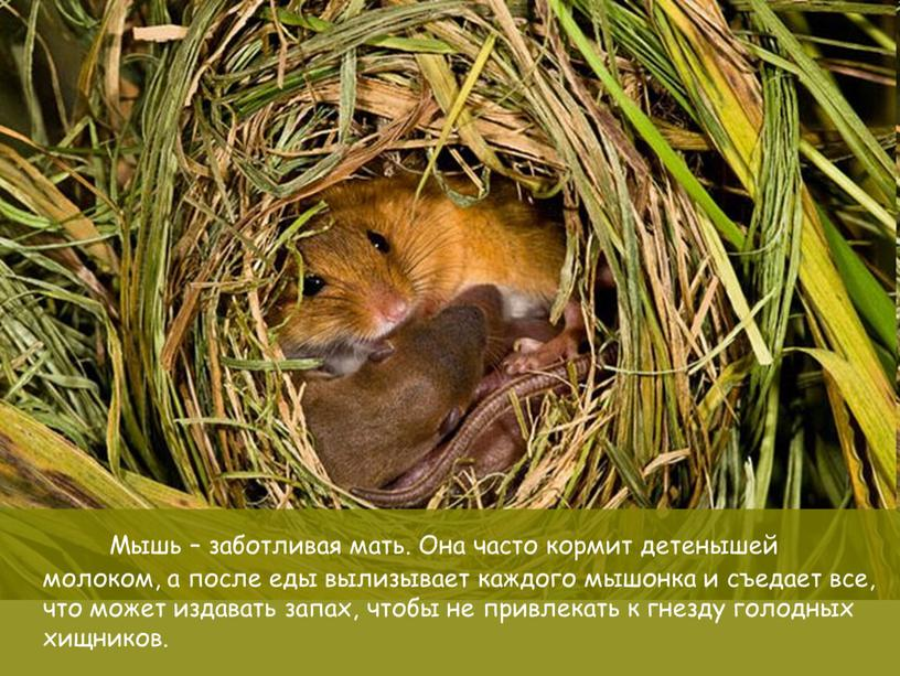 Материнские заботы Мышь – заботливая мать