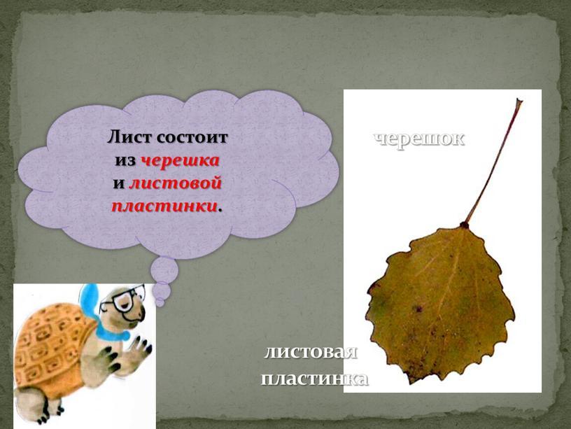 Лист состоит из черешка и листовой пластинки