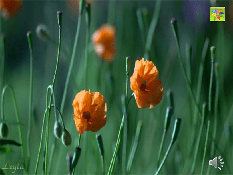 """Открытый урок и презентация по литературе. Урок доброты по рассказу А.П. Платонова """"Неизвестный цветок"""". (6 класс)"""