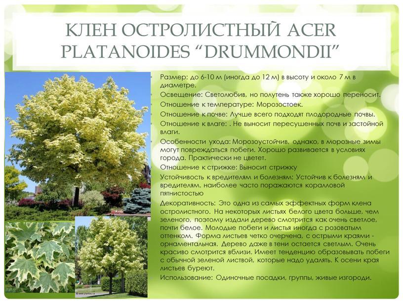 """Клен остролистный Acer platanoides """"Drummondii"""""""