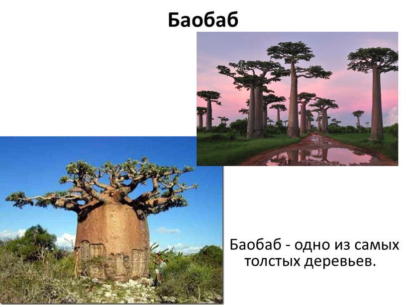 Баобаб Баобаб - одно из самых толстых деревьев