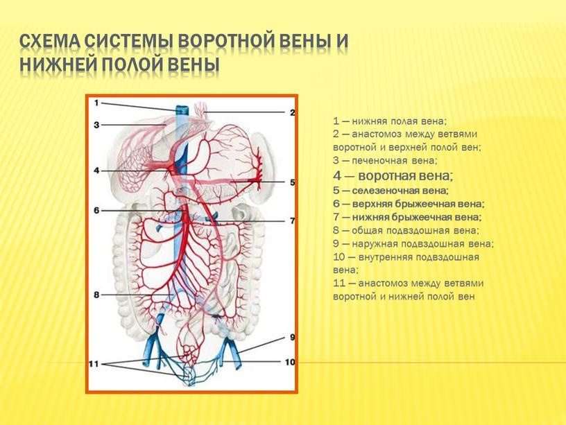 Схема системы воротной вены и нижней полой вены 1 — нижняя полая вена; 2 — анастомоз между ветвями воротной и верхней полой вен; 3 —…