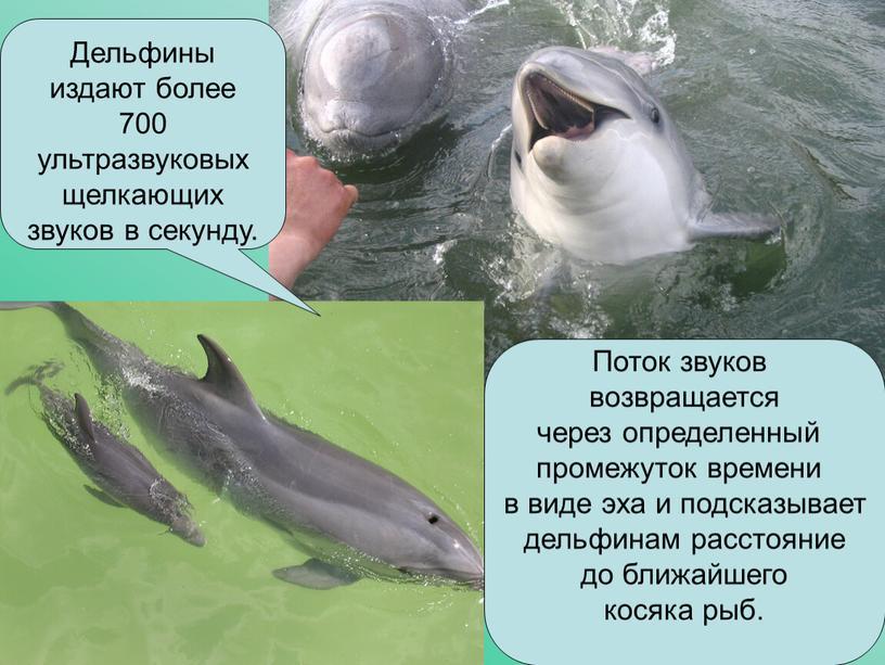 Дельфины издают более 700 ультразвуковых щелкающих звуков в секунду