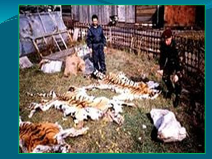 Презентация Амурский тигр
