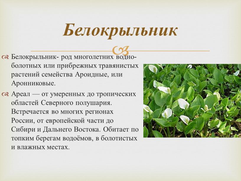 Белокрыльник- род многолетних водно-болотных или прибрежных травянистых растений семейства