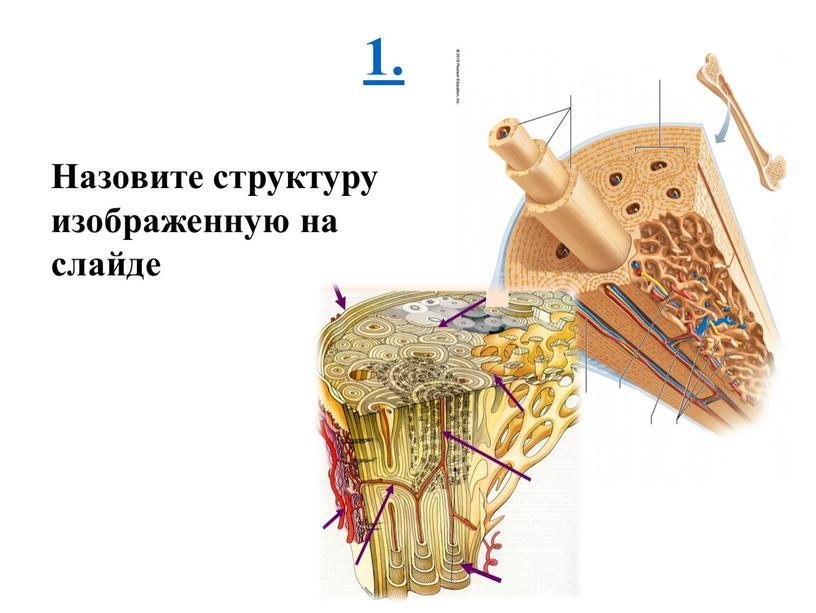 Назовите структуру изображенную на слайде